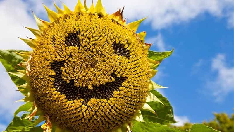 Solros med smiley