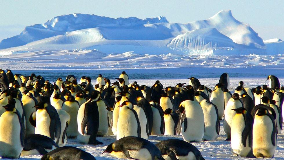 Foto: Pexels/Pixabay – en stor flock pingviner
