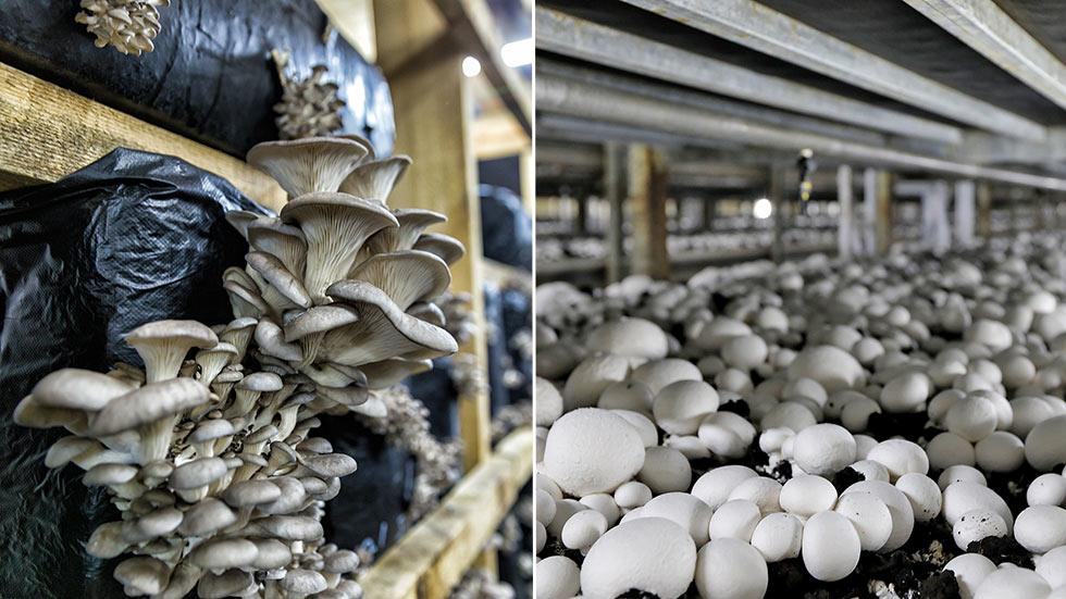 Starta svampodling – Tips hur du odlar och säljer svamp